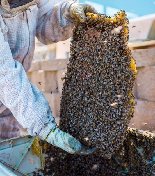 Live Bee Removal - Girl Next Door Honey